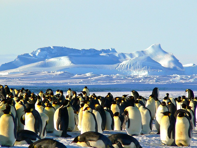 emperor-penguins-429127_640
